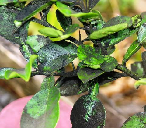 Вредители комнатных растений в картинках