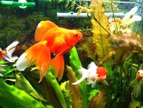 Золотые рыбки и фен шуй