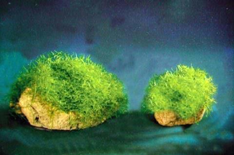 Фото 1. Яванский мох на камнях