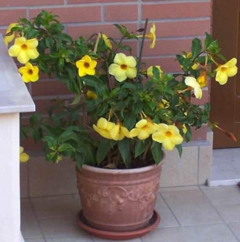 Цветок алламанда фото