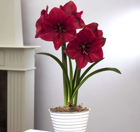 CategoryAmaryllis  Wikimedia Commons