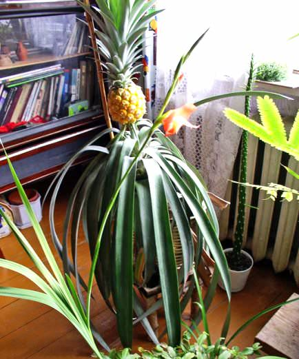 +как растет ананас в домашних условиях фото