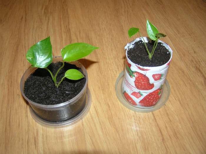 Антуриум выращивание из семян когда сажать 27