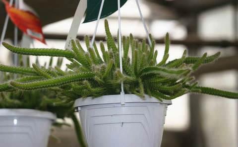 Апорокактус плетевидный фото