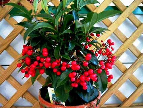 Комнатные цветы ардизия фото 2