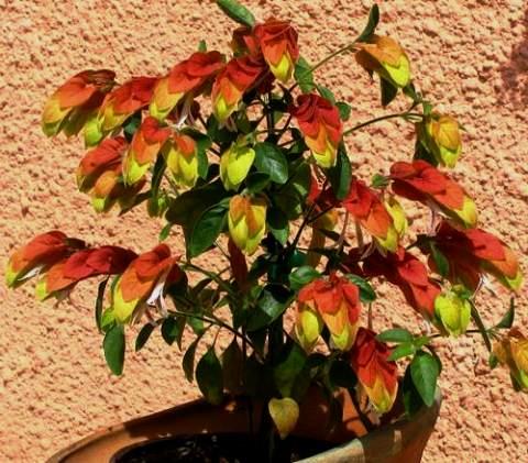 комнатное растение белопероне