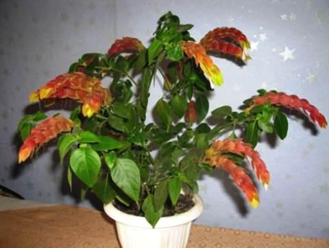 цветок белопероне фото