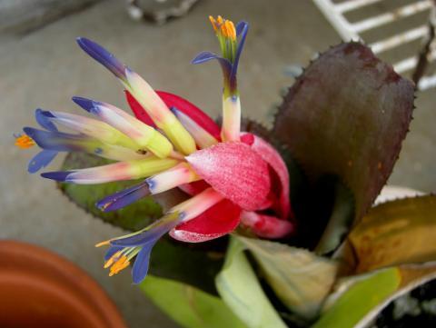 цветок бильбергия фото