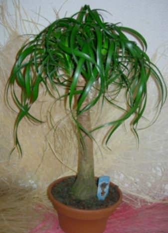 Цветок Бокарнея  фото 2