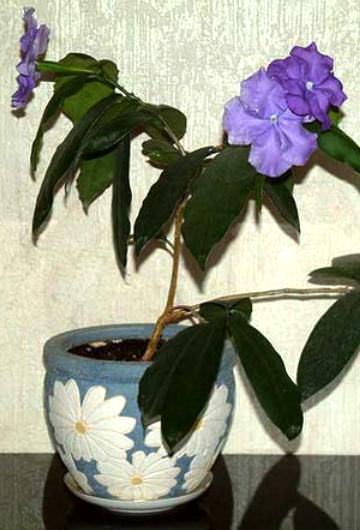 цветок брунфельсия фото