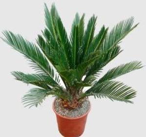 цикас пальма фото