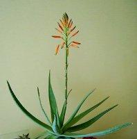 Несколько причин, почему не цветут комнатные растения