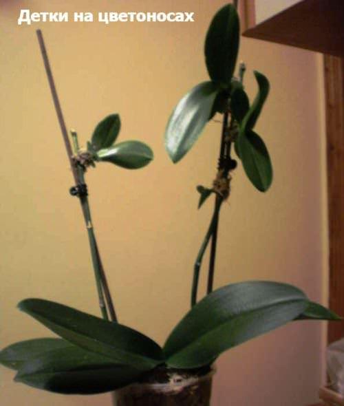 Орхидея размножение деток в домашних условиях 572