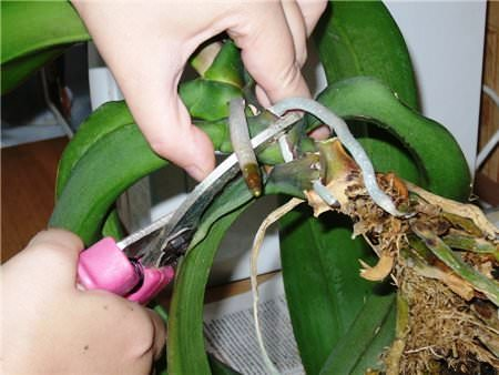 Как размножить фаленопсис фото