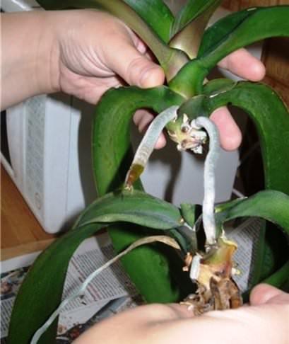 Орхидея фаленопсис размножение фото