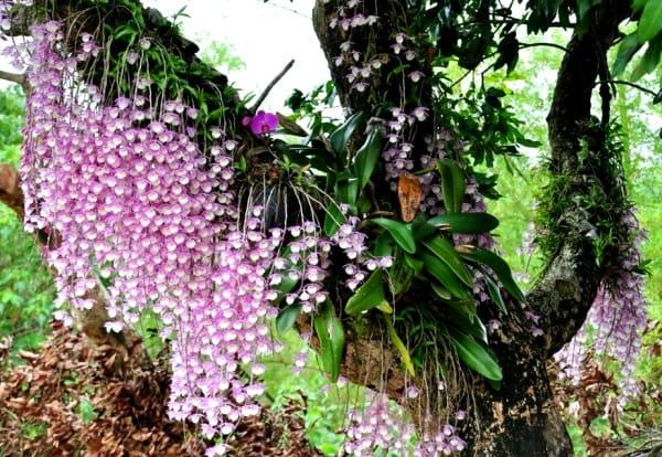 как растут орхидеи