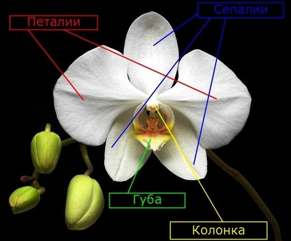 строение цветков орхидных