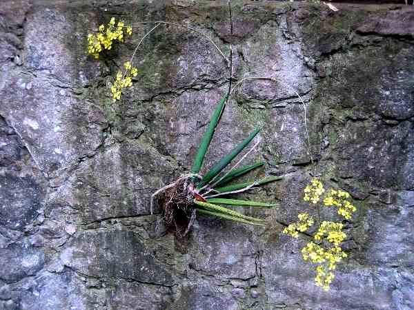 орхидные литофиты