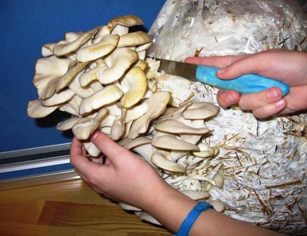 как вырастить грибы в домашних условиях фото