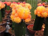 Кому-то привитые кактусы кажутся неестественными.  Но выращивание кактусов в домашних условиях в качестве...