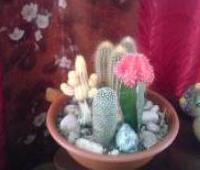 Композиции из кактусов