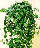 В домашних условиях плющ обычно выращивают как ампельное растение.  Хотя, его можно пустить по натянутым вверх лескам...
