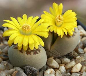 Литопсы живые камни