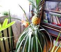 Вот такой ананас я вырастила