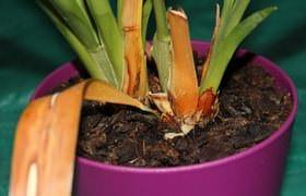 Болезни корней орхидей. Фото 1