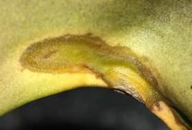 Орхидея фаленопсис болезни