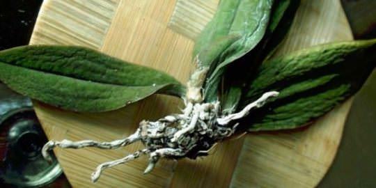 Хвороби орхідеї та їх лікування. Фото 3