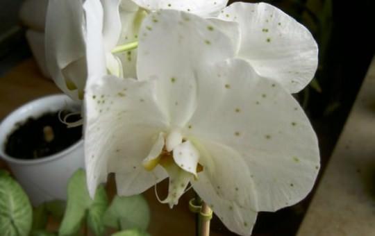 Болезни орхидей фото