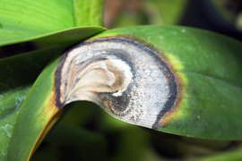 Болезни листьев орхидеи