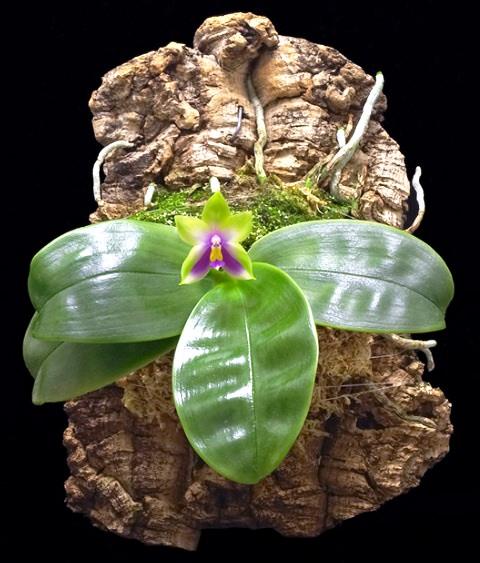 Орхидея росте на вертикальній площині