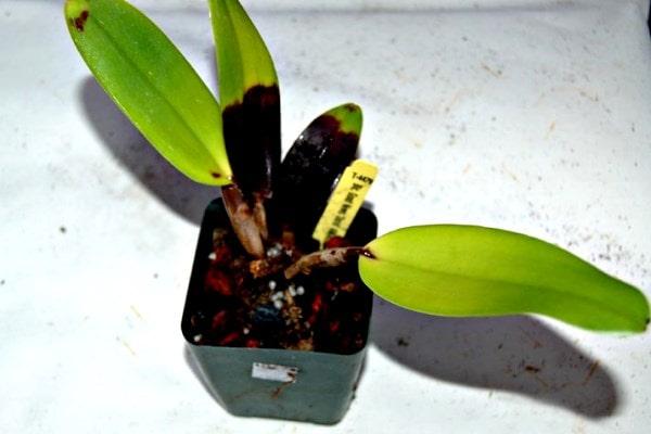 фитофтора орхидных фото