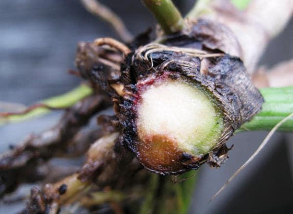 орхидея болезни листьев фото