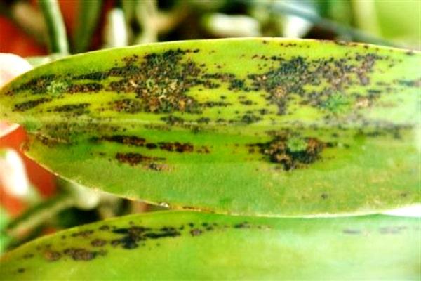 болезни орхидей фаленопсис фото