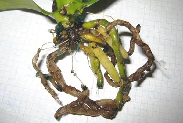 болезни орхидей фаленопсис фото и лечение