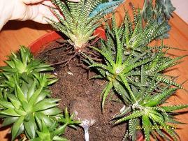 Вынуть растения из горшка