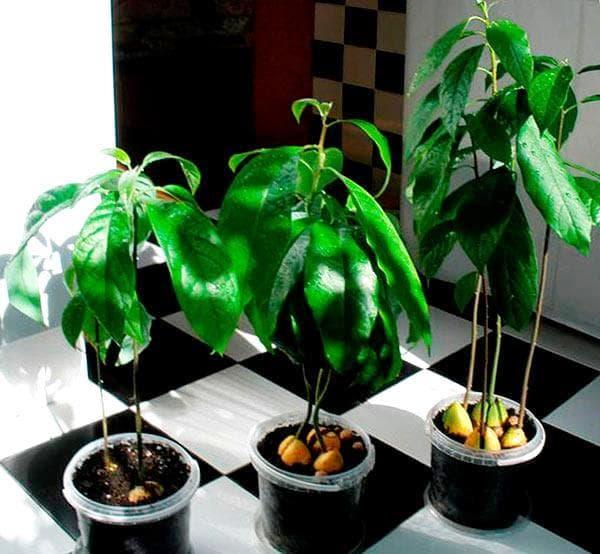 авокадо из косточки фото