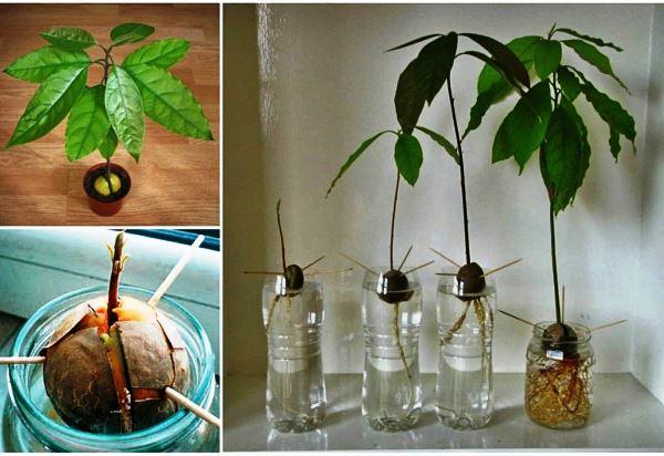 вырастить авокадо из косточки