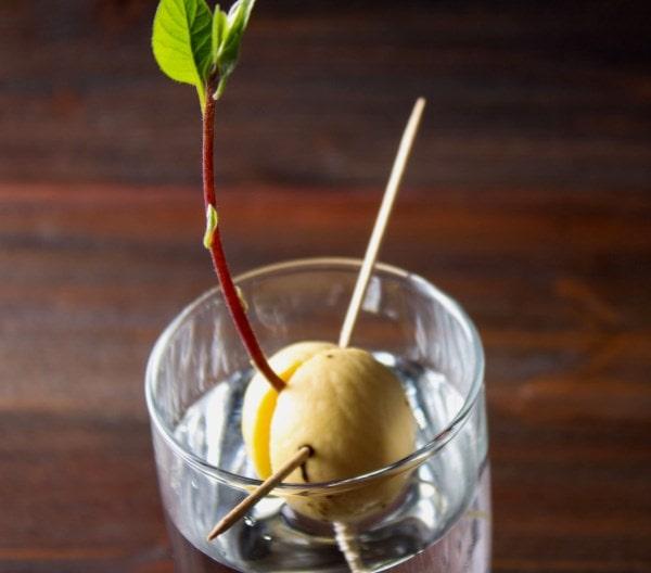 avokado iz kostochki