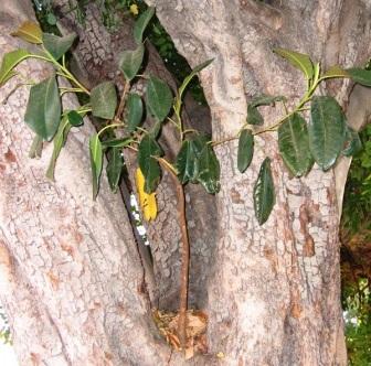Фото дерево баньян