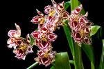 Орхидея Одонтоглоссум - уход в домашних условиях